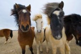 19295987-icelandic-horses-with-different-colors-are-standing-in-a-field